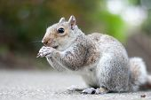 stock photo of ground nut  - A squirrel sitting on the ground eating a nut - JPG