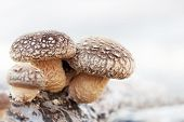 Shiitake mushroom growing on trees