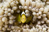 A small, yellow tropical clownsifh swims within the protective tentacles of a host anemone