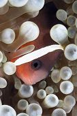 A tropical clown anemone fish rests within the protective tentacles of a host anemone