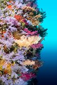 A vibrantly colored reef wall in Fiji hosts a large species of hard and soft corals and gorgonian sea fans.