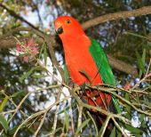 stock photo of king parrot  - red headed king parrot Alisterus scapularis australian native bird in Callistemon bottlebrush tree - JPG