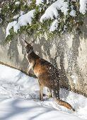 Kangaroo Playing In The Snow