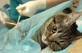 Veterinarian's office, surgical operation of cat.