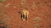 foto of lame  - Rear view of lame giraffe against stone rock ground - JPG