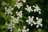White Yarrow (achillea Millefolium, Duizendblad)