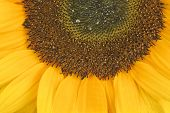 Sunflower, Alias Helianthus Annuus, Sliced Halfway