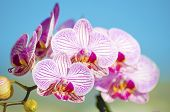 Pink Orchid, Phalaenopsis