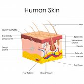 picture of fat cell  - vector illustration of diagram of human skin anatomy - JPG