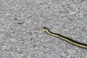 foto of harmless snakes  - Garter snake crossing a country road. on a hot summer day