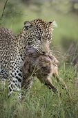 Leopard, Panthera Pardus, Carrying Prey