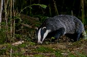 stock photo of badger  - Badger Meles meles foraging on woodland floor in West Sussex UK - JPG