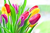 Bright Tulip Flowers