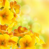 Yellow flowers on a white background, a spring primrose