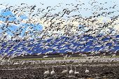 Lift Off Hundreds Of Snow Geese Taking Off Flying Trumpet Swans Watching