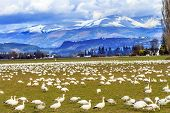 Snow Geese Mountains Skagit Valley Washington
