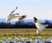 stock photo of snow goose  - Snow Geese Wings Extended Landing Skagit Valley Washington - JPG