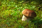 Boletus edulis   in natural environment.  Shallow DOF, focus on stipe.