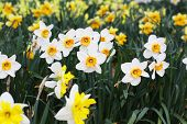 Field Of Beautiful  Daffodils In Spring Time