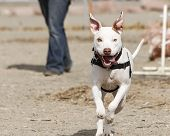 picture of pitbull  - A white pitbull mix dog running through a practice agility course - JPG