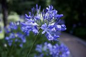Agapanthus Blue Heaven In A Park Isolated Against A Dark Background