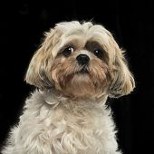 Close-up of a Shih tzu, on a black background
