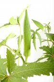 image of okras  - fresh green okra at on white background - JPG
