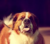 a saint bernard at a local park on a hot sunny day toned with a retro vintage instagram filter
