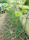 Organic Garden Shallots
