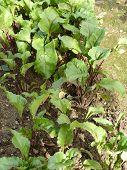 Beetroot Organic Garden
