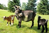 picture of billy goat  - Two baby goats and their mother on a farm are outside grazing and eating grass - JPG