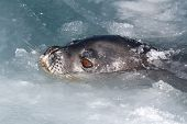 Weddell Seal Head That Popped Out Of The Water And Ice Winter Day