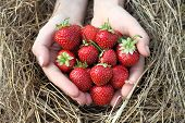 Strawberry in hands. Fresh strawberries handpicked from a strawberry farm.