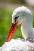 stock photo of stork  - A stork recorded in close up when preening.