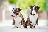 two english bull terrier puppies