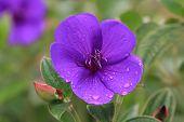 Common Melastoma flower