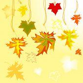 Autumn Maple  Leavse