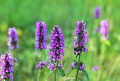 Beautiful Lilac Wildflowers