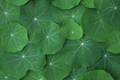 Green Nasturtium leaves