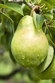 Bartlett Pear on a Tree