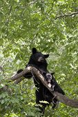 stock photo of snuggle  - Black bear sow and cub snuggling in a tree with  green background - JPG