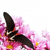 Papilio rumanzovia  on the flowers