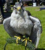 Peregrine falcon Latin name falco peregrinus