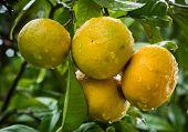 Rain Washed Grapefruit
