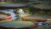 Lily Pads And White Flower On A Pond