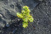 Sparse Vegetation At Volcanic Stones