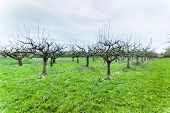 Apple Trees In Springtime  Blossom In Orchard