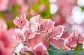 Paper Flowers Or Bougainvillea