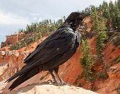 foto of raven  - A raven poses near Natural Bridge in Bryce Canyon National Park Utah - JPG