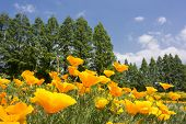 California poppy field